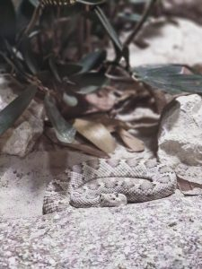 how likely are you to get bitten by a rattlesnake in arizona